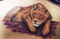 MBs Lioness